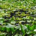 Skunk cabbage (Symplocarpus foetidus).- Cranberry Lake