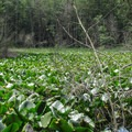 The lake is surrounded by marsh and covered in skunk cabbage.- Cranberry Lake