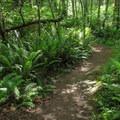 Sword ferns (Polystichum munitum).- Cranberry Lake