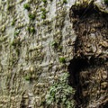 Red alder (Alnus rubra) is abundant along the trail.- South Lost Lake Trail