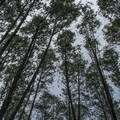 Looking up to a canopy of red alder (Alnus rubra).- South Lost Lake Trail