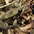 Cascades frog (Rana cascadae).- South Lost Lake Trail