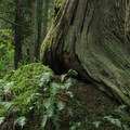 A western red cedar (Thuja plicata) rooted atop a boulder.- South Lost Lake Trail