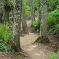 Zig-zagging through red alder (Alnus rubra).- Rock Trail
