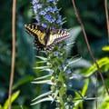 Anise swallowtail butterfly (Papilio zelicaon) in Buena Vista Park.- Buena Vista Park