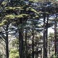 Monterey cypress (Cupressus macrocarp).- Buena Vista Park