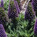 Pride of Madeira (Echium candicans) in Buena Vista Park.- Buena Vista Park