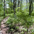 The sparsely spaced trees on this hike are a nice relief from the claustrophobic effects of dense rhododendron growth that is common on other trails in the region.- Craggy Gardens