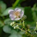 Wild rose.- Pogonip Trails