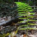 Sword fern.- Pogonip Trails