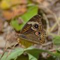 Common buckeye butterfly (Junonia coenia).- Pogonip Trails