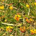 Sweet pea.- Pogonip Trails