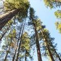 Old-growth ponderosa pines (Pinus ponderosa) in Smiling River Campground.- Smiling River Campground