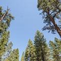 Old-growth ponderosa pine (Pinus ponderosa) in Gorge Campground.- Gorge Campground