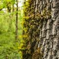 Oregon oak (Quercus garryana) tree in Mount Talbert Nature Park.- Mount Talbert Nature Park