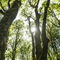 Canopy of Oregon oak (Quercus garryana) in Mount Talbert Nature Park.- Mount Talbert Nature Park