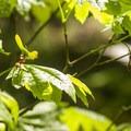Vine maple (Acer circinatum) in Mount Talbert Nature Park.- Mount Talbert Nature Park