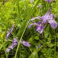 Toughleaf iris (Iris tenax) in Mount Talbert Nature Park.- Mount Talbert Nature Park