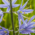 Camas (Camassia) in Three Creeks Natural Area.- Three Creeks Natural Area