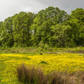 Swamp buttercup (Ranunculus orthorhynchus) in the central meadow in Three Creeks Natural Area.- Three Creeks Natural Area