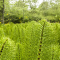 Horsetail (Equisetum) in Three Creeks Natural Area.- Three Creeks Natural Area