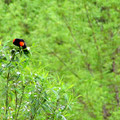 Red-winged blackbird (Agelaius phoeniceus) in Three Creeks Natural Area.- Three Creeks Natural Area