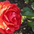 One of 75 species in Peninsula Park's rose garden.- Peninsula Park
