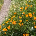 Trailside California poppies (Eschscholzia californica).- Corona Heights Park
