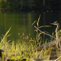 Great blue heron (Ardea herodias) at Big Beaver Campsite.- Ross Lake via Diablo Lake