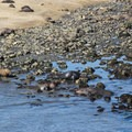 Male elephant seals hanging out in the shallows.- Elephant Seal Overlook
