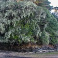 Old man's beard clings to coastal live oaks in Tomales Bay State Park.- Tomales Bay State Park