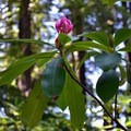 Pacific rhododendron.- Diamond Creek Falls