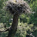 An osprey keeps watch from its nest near Rooster Rock.- Rooster Rock Climbing Crag