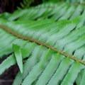Sword fern (Polystichum munitum).- Rooster Rock Climbing Crag