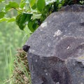 Oregon grape (Mahonia aquifolium).- Rooster Rock Climbing Crag