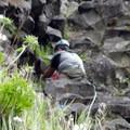 Grasses find a habitat on Rooster Rock's steep basalt shelves.- Rooster Rock Climbing Crag
