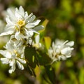 Serviceberry.- Sheep Canyon