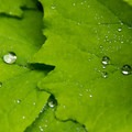 Water on salmonberry leaves.- Sheep Canyon