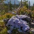 Spreading Phlox (Phlox diffusa).- Sheep Canyon