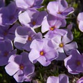 Spreading Phlox (Phlox diffusa).- Sheep Canyon