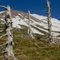 Tree skeletons on the flanks of Mount St. Helens.- Sheep Canyon