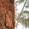 Bark of a western white pine (Pinus monticola).- Wolverton to Pear Lake Ski Hut
