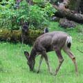 Blacktail deer in Potwisha Campground.- Potwisha Campground