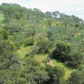 Live oak campground is named for the coastal live oak (Quercus agrifolia) that dots Mount Diablo's landscape.- Live Oak Campground