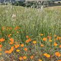 California poppy (Eschscholzia californica) in Mount Diablo State Park.- Mount Diablo State Park