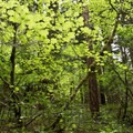 The understory of vine maples glow a vibrant green in the spring.- South Breitenbush Gorge National Recreation Trail