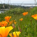 Gas Works Park: California poppy (Eschscholzia californica).- Gas Works Park