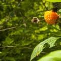 Salmonberry (Rubus spectabilis) in West Hylebos Wetlands Park.- West Hylebos Wetlands Park