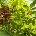 Red elderberry (Sambucus racemosa) in West Hylebos Wetlands Park.- West Hylebos Wetlands Park