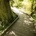 Interpretive loop trail w/ western red cedar (Thuja plicata) in West Hylebos Wetlands Park.- West Hylebos Wetlands Park